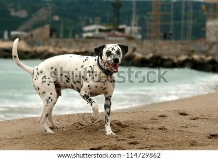 Beautiful dalmatian dog on the beach - stock photo