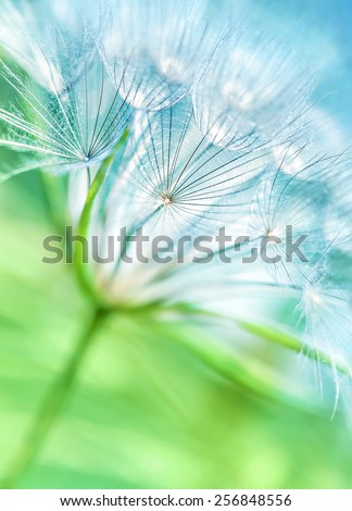 Beautiful dandelion background, abstract floral backdrop, cute fluffy flower, nature detail, dreamy wallpaper, spring season concept - stock photo