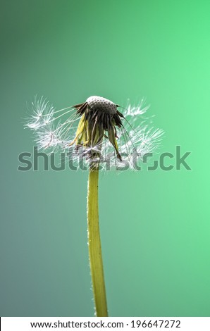 Beautiful dandelion with great colors