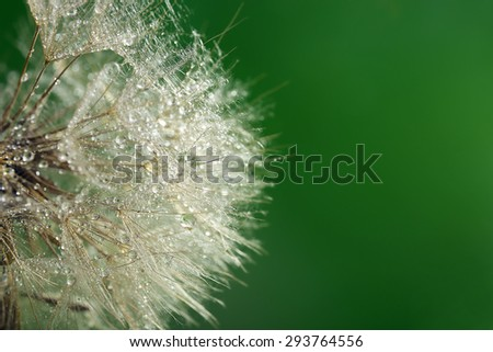 Beautiful dandelion with water drops on green background - stock photo