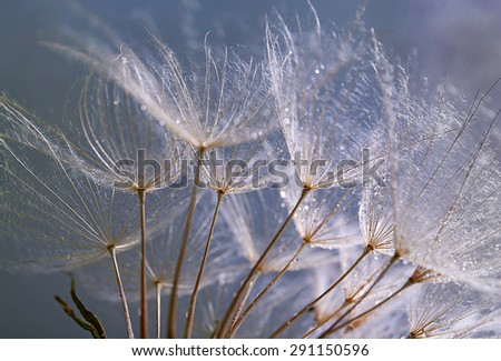 Beautiful dandelion with water drops on purple background - stock photo