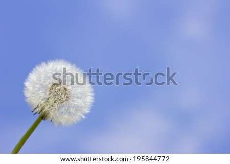 beautiful dandelions bathe in the sunlight - stock photo