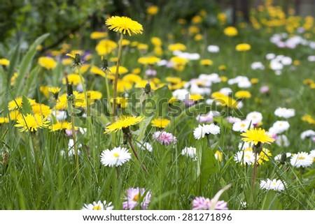 Beautiful dandelions blooming in garden - stock photo