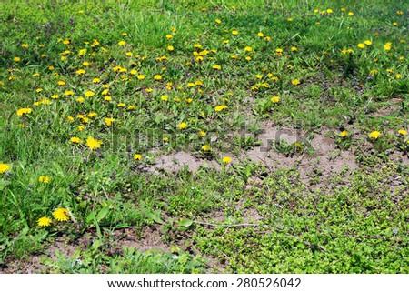 Beautiful dandelions blooming in spring - stock photo