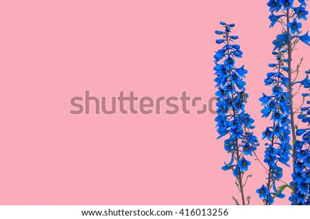 Beautiful dark blue delphinium on a pink background, with space  for text - stock photo