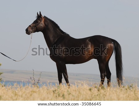 beautiful dark brown stallion standing on the hill in exterior