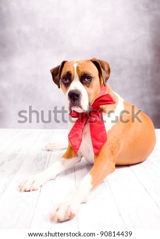 Beautiful Dark Fawn Boxer Dog with Pretty Red Velvet Bow - stock photo
