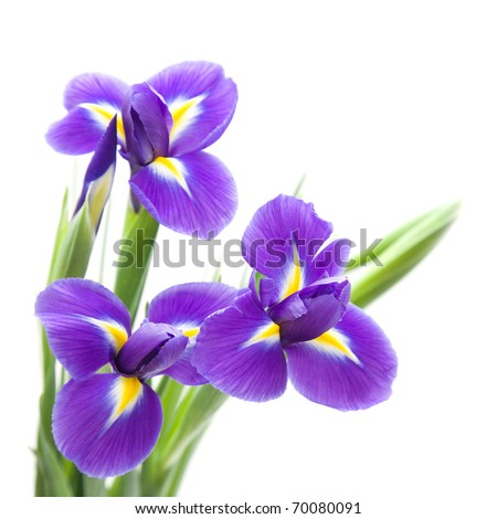 iris flower isolated stock images, royaltyfree images  vectors, Beautiful flower