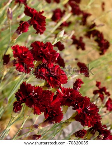 Beautiful dark red carnation flowers (Dianthus caryophyllus, Chabaud) on field. Shallow depth of field. - stock photo