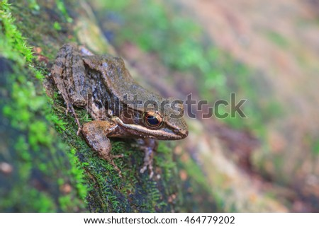 beautiful Dark-sided Frog in tropical forest (Hylarana nigrovittata)