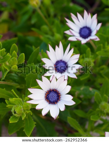 Beautiful deep white  chrysanthemum flower on green background - stock photo