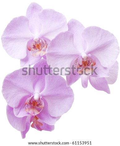 Beautiful, delicate an exotic flower on a white background. Red orchid.