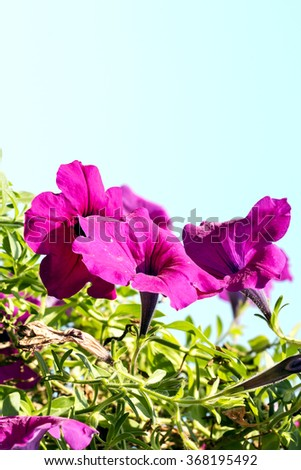Beautiful, delicate little Four O'Clock flower - stock photo
