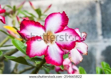 Beautiful Desert Rose Flower (Adenium sp.) in a Garden  - stock photo
