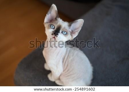 beautiful devon rex kitten - stock photo