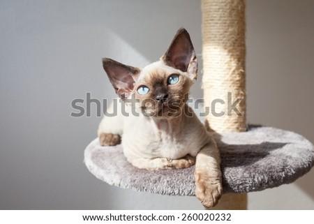 Beautiful devon rex kitten sitting on the scratching post - stock photo