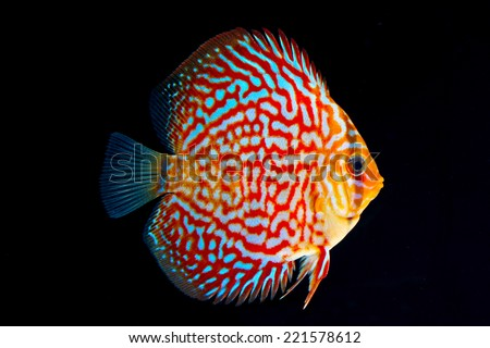 Beautiful Discus Fish isolated on Black - stock photo