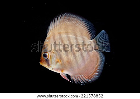 Beautiful Discus isolated on Black