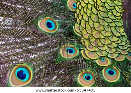 beautiful display feathers plumage of male peacock - stock photo