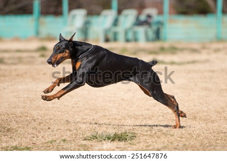 Beautiful Doberman running - stock photo