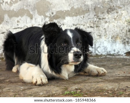 beautiful dog, a border collie