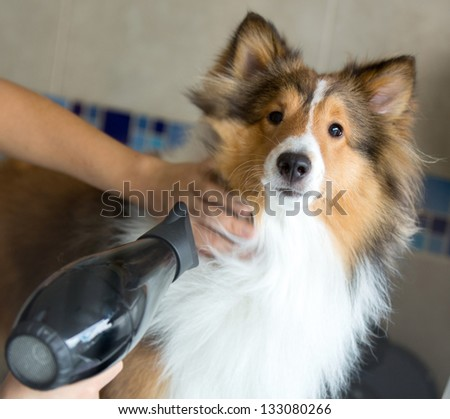 Beautiful dog being groomed at a spa with a hairdryer - stock photo
