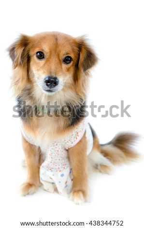 Beautiful dog black brown wear clothing sitting with unhappy on isolated white background
