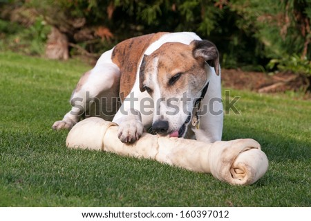 Beautiful dog enjoying his chew bone - stock photo