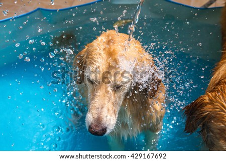 Beautiful dog golden retriever sitting down on the swimming pool and play with old lady - stock photo