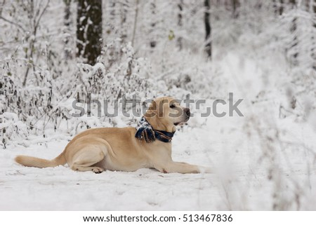 Beautiful Dog in scarf lying in the snow. Labrador. Winter. Snowy forest and dog. Snowy winter.