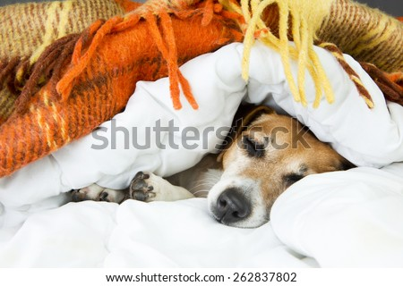 beautiful dog Jack Russell terrier sleeping in the home cozy soft bed sheltered warm blanket. Luxuriate in bed - stock photo