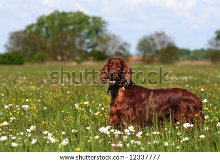 Beautiful dog looking in the field - stock photo