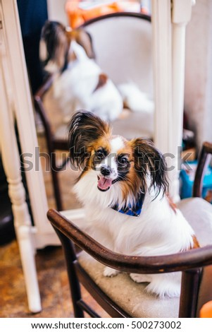 Beautiful dog Papillon breed lying on sofa.