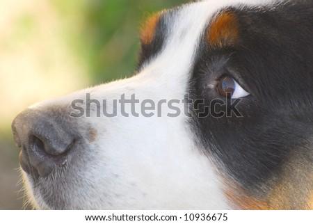 Beautiful dog portrait. Bernese Mountain Dog - stock photo