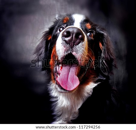 Beautiful dog  portrait. Bernese Mountain puppy in studio (Berner Sennenhund) - stock photo