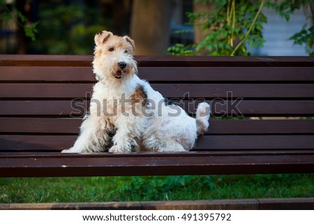 beautiful dog. Portrait young dog playing. Fox Terrier