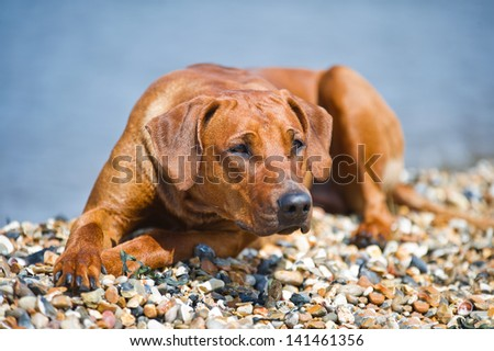 Beautiful dog resting at the beach shore - stock photo