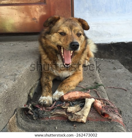 Beautiful dog yawns after dinner - stock photo