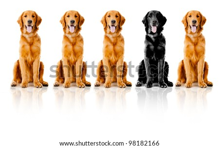 Beautiful dogs sitting down in a row - isolated over a white background - stock photo