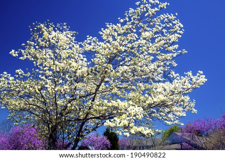 Beautiful Dogwood tree against purple Redbud Blooms. - stock photo