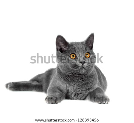 Beautiful domestic gray or blue British short hair cat with yellow eyes  on a white background - stock photo