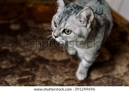 beautiful domestic grey sweet cat sitting at home and looking