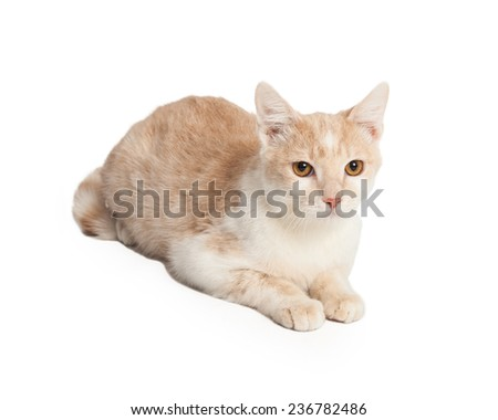 Beautiful Domestic Shorthair Cat laying at an angle looking directly into the camera.  - stock photo