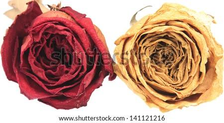 beautiful dry red & white rose on white background - stock photo