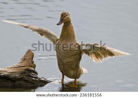Beautiful Duck sitting near the pond - stock photo