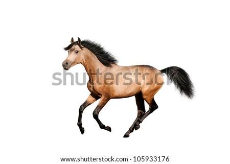 Beautiful dun stallion isolated over white - stock photo