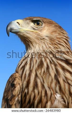 Beautiful eagle - stock photo