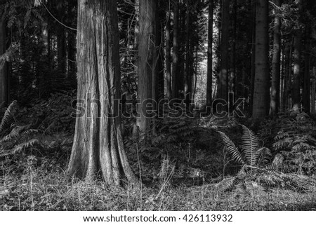 Beautiful early morning forest landscape in Spring with sunlight in black and white - stock photo