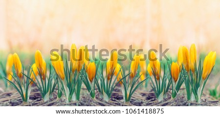 Beautiful early spring yellow flowers crocuses stock photo edit now beautiful early spring yellow flowers crocuses panoramic photo front view mightylinksfo