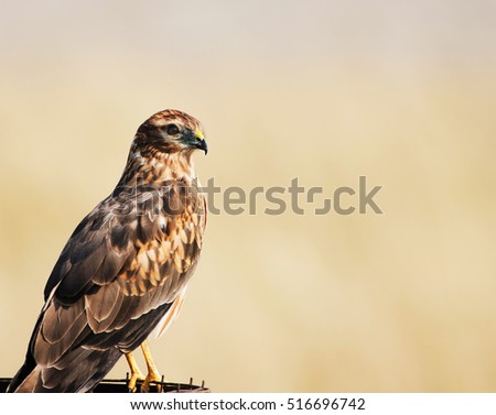 Beautiful eastern marsh harrier perching on metal bin, looking at the camera, against light cream natural background